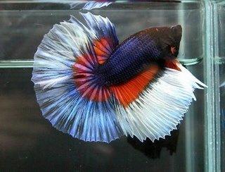 Ikan Cupang (Betta sp.)