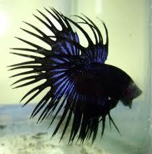 Ikan Cupang (Betta sp.) « Putra-Jogja