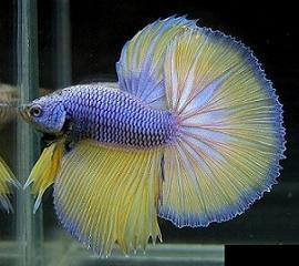 Ikan cupang adalah salah satu ikan yang kuat bertahan hidup dalam